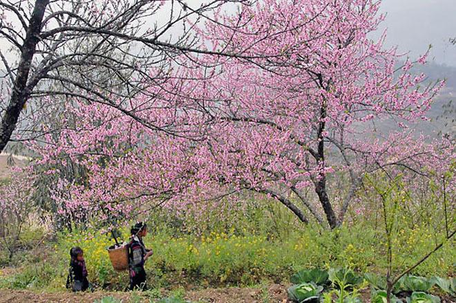 Cao nguyên đá Hà Giang rực rỡ sắc hoa đào, mận