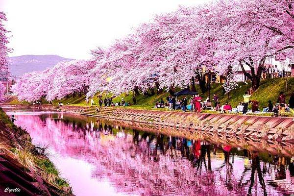 Lễ hội hoa anh đào Hàn Quốc 2017