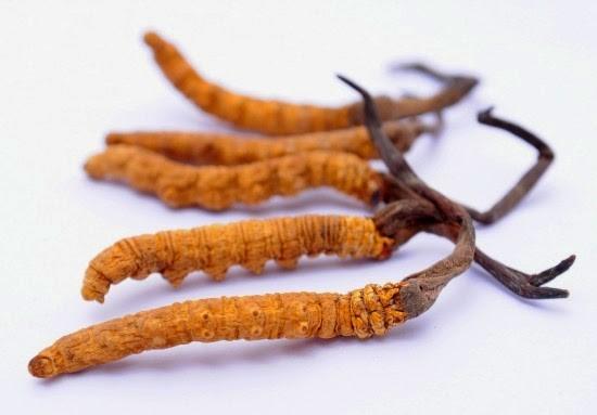 Đông trùng hạ thảo được sử dụng trong điều trị ung thư đại trực tràng
