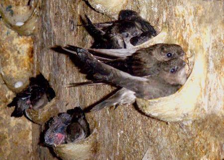 Nguồn gốc hình thành chim yến
