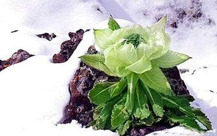 Hoa Tuyết Liên Sơn mọc ở độ cao 4000m