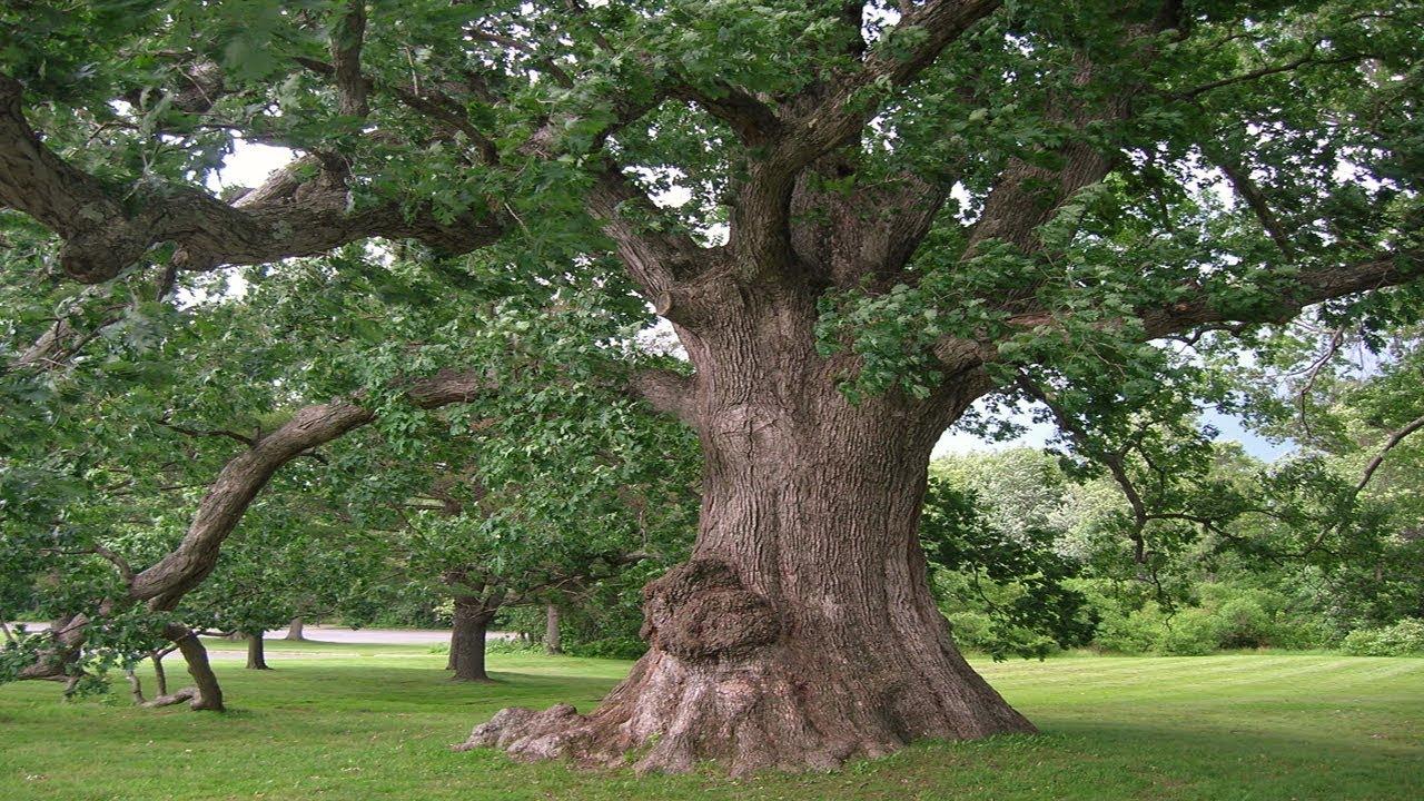 Cây gỗ sồi cổ thụ nhiều năm tuổi