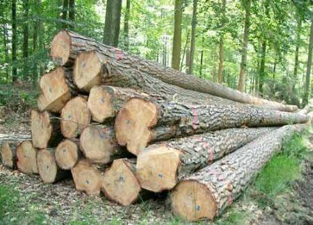 Cận cảnh cân gỗ sồi được khai thác