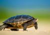 Nằm mơ thấy rùa được ví như cát mông, may mắn và tài lộc.